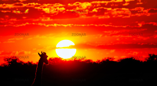 Giraffe blickt in den Sonnenuntergang, Etosha-Nationalpark, Namibia, (Giraffa camelopardalis) | Giraffe looking at the sunset, Etosha National Park, Namibia, (Giraffa camelopardalis)