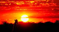 Giraffe blickt in den Sonnenuntergang, Etosha-Nationalpark, Namibia, (Giraffa camelopardalis) | Giraffe looking at the sunset, Etosha National Park, Namibia, (Giraffa camelopardalis)