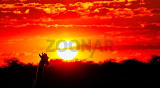 Giraffe blickt in den Sonnenuntergang, Etosha-Nationalpark, Namibia, (Giraffa camelopardalis)   Giraffe looking at the sunset, Etosha National Park, Namibia, (Giraffa camelopardalis)