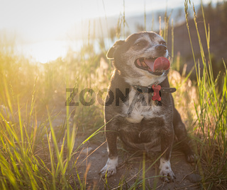 Chubby Chihuahua Dog At Sunset