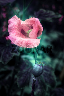 Beautiful pink poppies flower blossom on wild field. Soft focus. Creative dark low key toned. Greeting card template. Nature background. Copy space