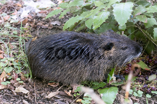 Nutria on banks of the canal. Wild nutria