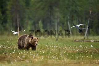 Eurasian Brown bear in the swamp
