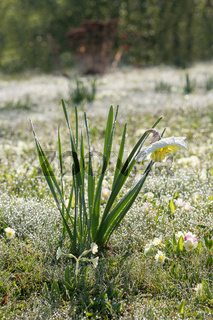 Beautiful flowers of daffodils narcissus glow in morning at sunrise