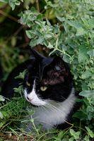 1 BA Katze Katzenminze 0132.jpg