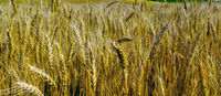 Wheat crop field Background Beautiful Nature