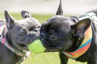 Two French Bulldogs puppies (black and blue) playing with a ball.