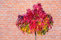 Red maple leaves on tree in autumn with wall