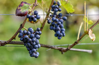 wine grapes in autumn