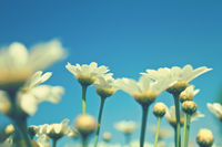 beautiful white daisies on a meadow