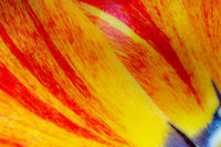 Abstract tulip flower background