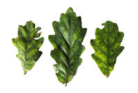 three green oak leaves beginning to turn yellow in september on a white background