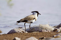 River lapwing, Vanellus duvaucelii, Chambal river, Rajasthan, India