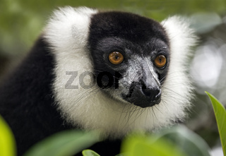 Schwarzweißer Vari (Lemur varecia variegata),Ankanin Ny Nofy, Madagaskar