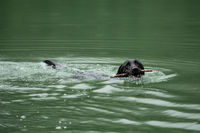 A black Labrador Retriever is swimming in the water