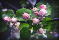 Flower buds of Apple on a tree branch.