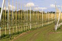 Spalierobst-Plantage am Bodensee