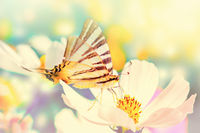 Dreamy cosmos flowers, butterfly against sunlight. Macro with soft focus. Pastel vintage toned. Delicate transparent airy elegant artistic image of spring. Nature greeting card background