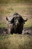 Cape buffalo faces camera in muddy wallow