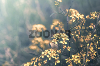 Beautiful mustard yellow flowers blossom on wild field in sunset light. Shallow depth. Abstract nature background. Creative pastel toned. Greeting card template. Copy space