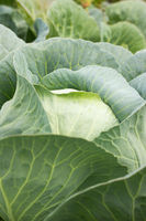 Big cabbage in the garden. Fresh green big cabbage organic vegetables in the farm. Cabbage detail or cabbage background.