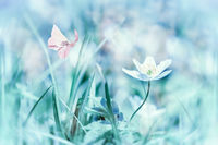 Dreamy white spring anemone flower bloom, grass, butterfly close-up. Spring floral image. Pastel blue toned. Macro with soft focus. Nature greeting card background