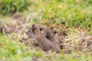 Valley Pocket Gopher (Thomomys bottae) emerging from the burrow.