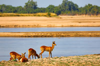 Pukus am Luangwa-Ufer, South Luangwa Nationalpark, Sambia, (Kobus vardonii) |  Pukus at Luangwa River, South Luangwa National Park, Zambia, (Kobus vardonii)