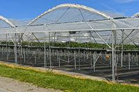 Gewächshaus für den Anbau von Erdbeeren (Fragaria) im Hochanbau