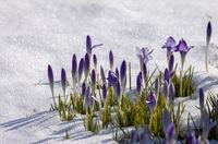 Krokusse (Crocus) im Schnee