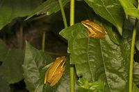 Frog, Agumbe ARRSC, Karnataka , India