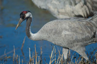 Common crane (Grus grus). Gallocanta Lagoon Natural Reserve. Aragon. Spain.