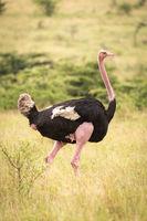 Male common ostrich walks through long grass