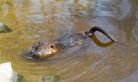 Myocastor coypus, single mammal