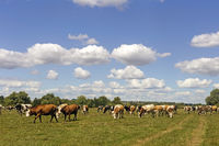 Cows graze in a meadow near the forest