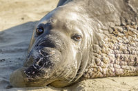 Northern Elephant Seal Adult Male Close-up.