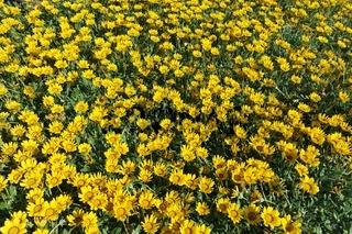 Gelber Blumenteppich