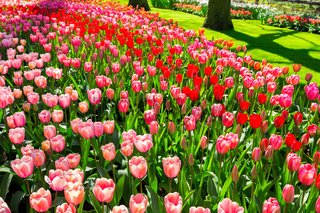 Field of flowers red tulips in park Keukenhof Holland