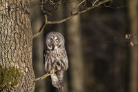Bartkauz, Strix nebulosa, great grey owl