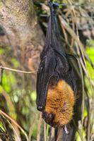 Lyle- oder Hinterindische Flughund (Pteropus lylei) /