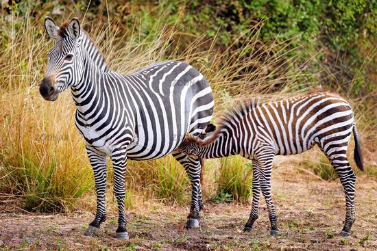 Steppenzebra mit Jungtier, South Luangwa Nationalpark, Sambia, (Equus quagga) | Plains Zebra with a young one, South Luangwa National Park, Zambia, (Equus quagga)
