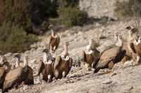 Griffon vultures (Gyps fulvus). Natural Park of the Mountains and Canyons of Guara. Huesca. Aragon. Spain.