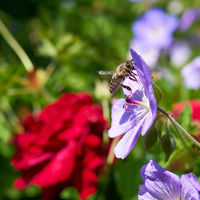 Biene bei der Bestäubung einer Blume