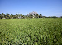India. Beautiful landscape - field with green grass