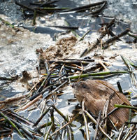 Muskrat woke up in spring and surfaced on dirty melting ice