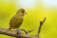 Juveniler Grünfink