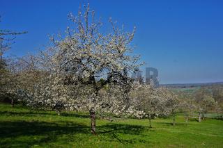 Kirschblüte in einer Streuobstwiese