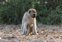 Vervet monkey in Botswana