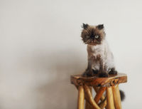Persian Cat Extreme with hairdress