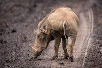 Warthog scratching its ear on muddy track